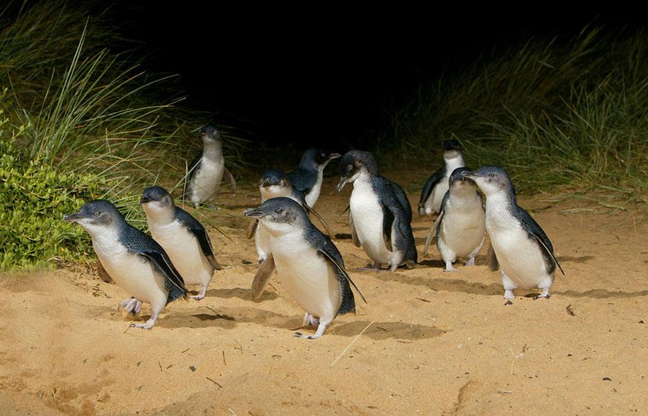 澳洲墨爾本|菲利浦島沿岸風景 觀賞神仙企鵝準時歸巢